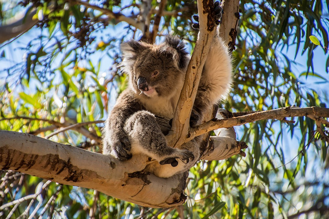 A koala at Hanson Bay: Things to do on Kangaroo Island