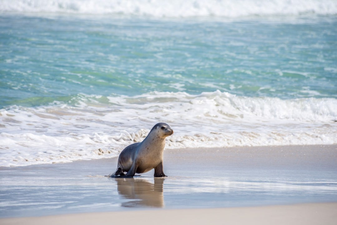 Seal Bay is home to the largest colony of Australian sea lions