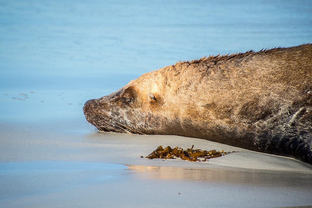A seal lazes on Vivonne Bay