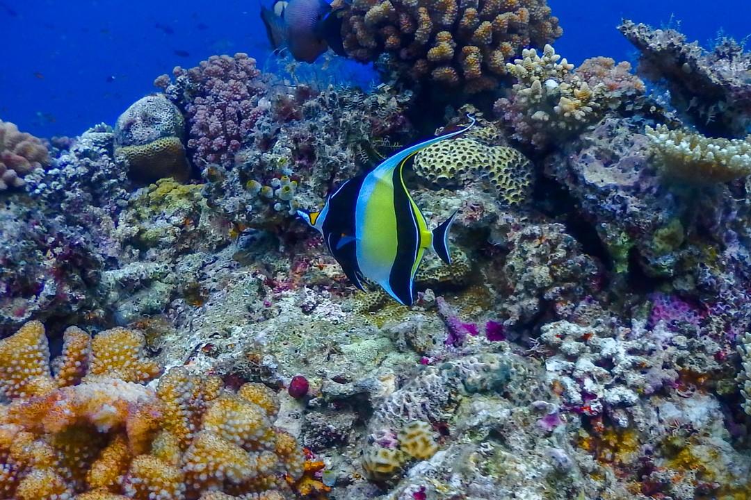 Diving Steve's Bommie in the Great Barrier Reef coral moorish idol 2