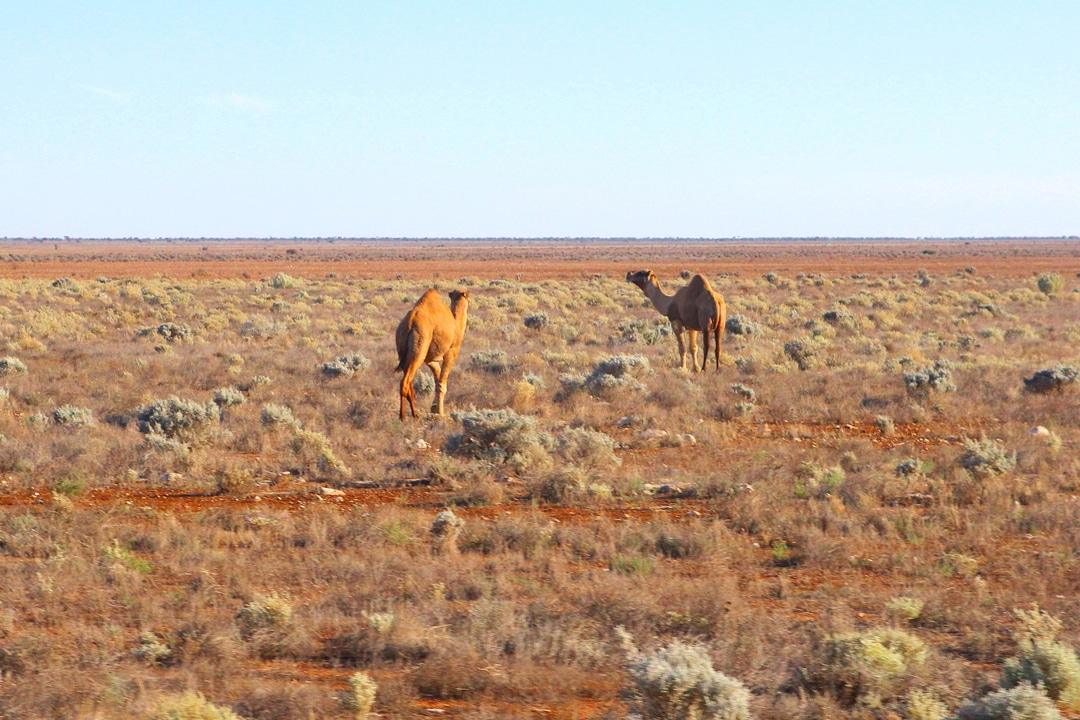 Feral camels roam the outback
