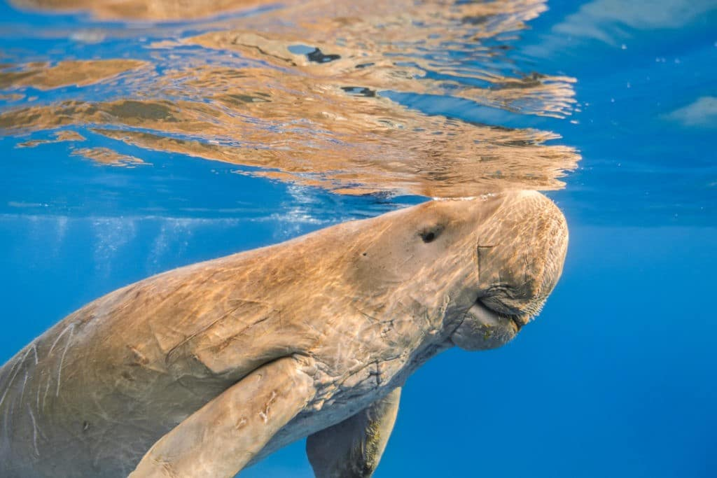 interesting facts about the Great Barrier Reef dugong