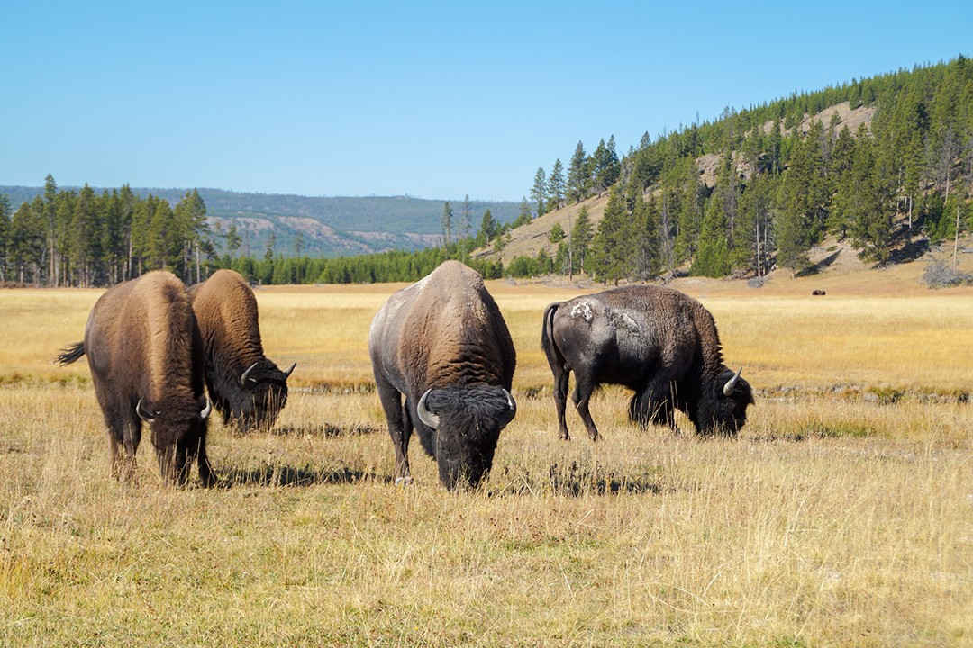 Eco-friendly wildlife tours bison 1