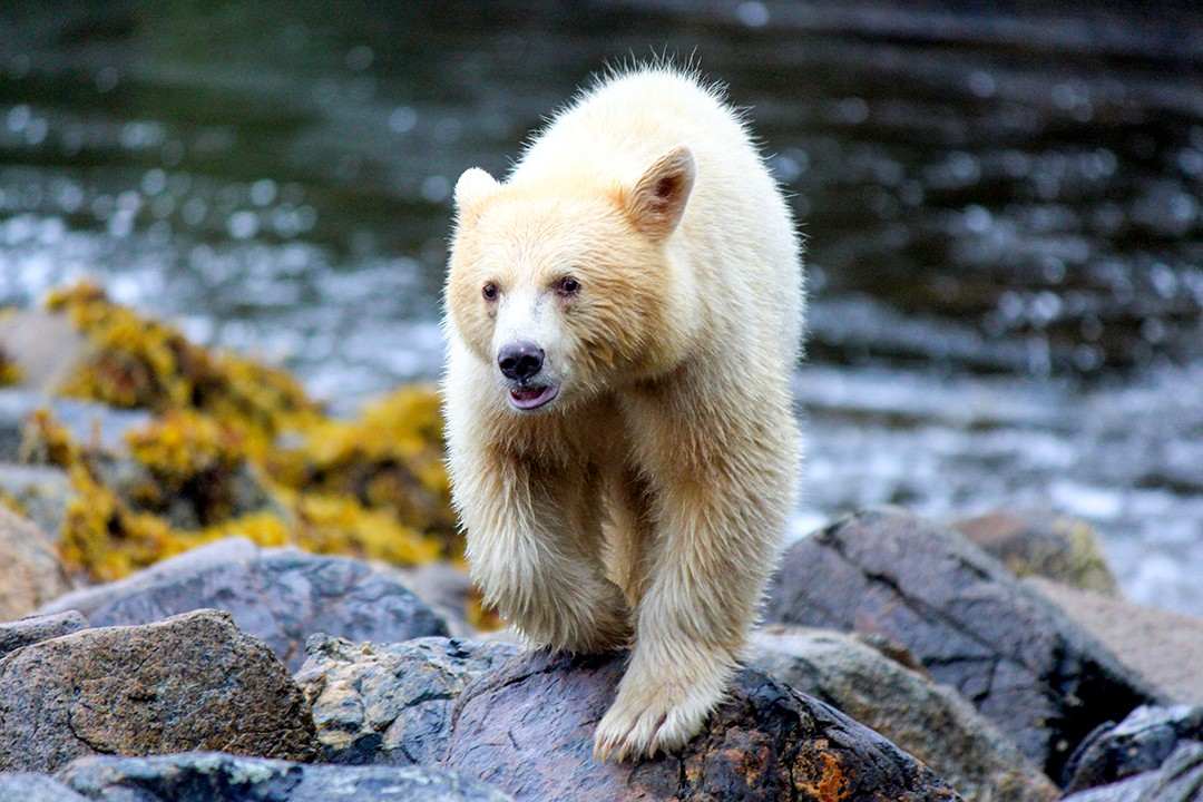Eco-friendly wildlife tours spirit bear