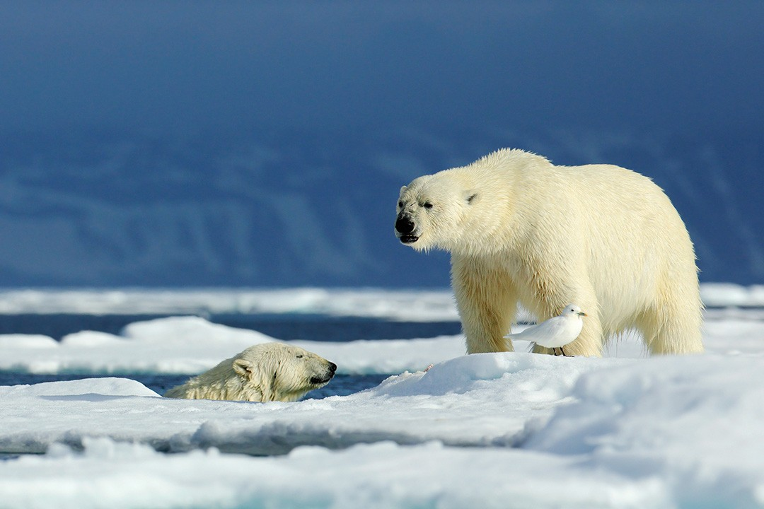 Shrinking sea ice forces polar bears to spend more time on land
