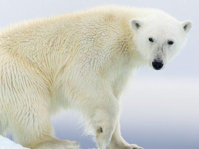 Polar bear death: has extinction tourism gone too far?