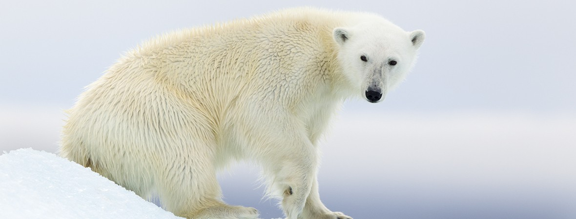 Polar bear death: has extinction tourism gone too far?