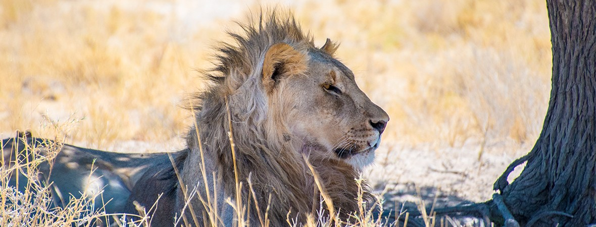 Safari in Etosha National Park lion under tree
