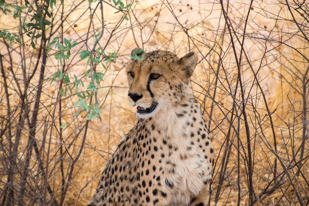 interesting facts about Namibia-cheetahs