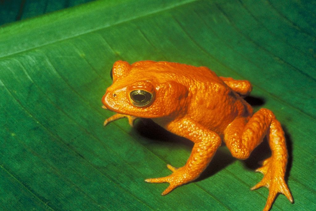 The extinct golden toad was once abundant in Monteverde Cloud Forest