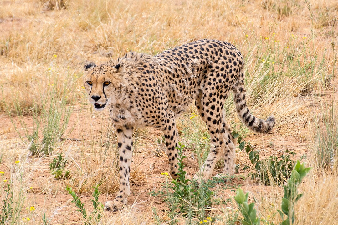 Tracking leopards at Okonjima Nature Reserve, Namibia