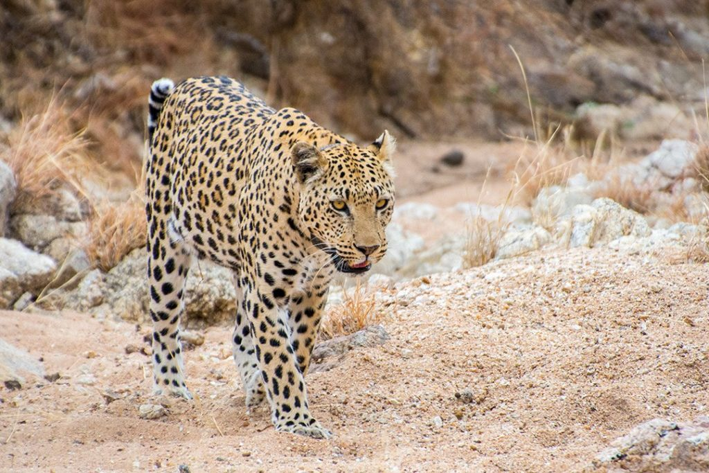 Leopards are forced onto farmland from diminishing habitats