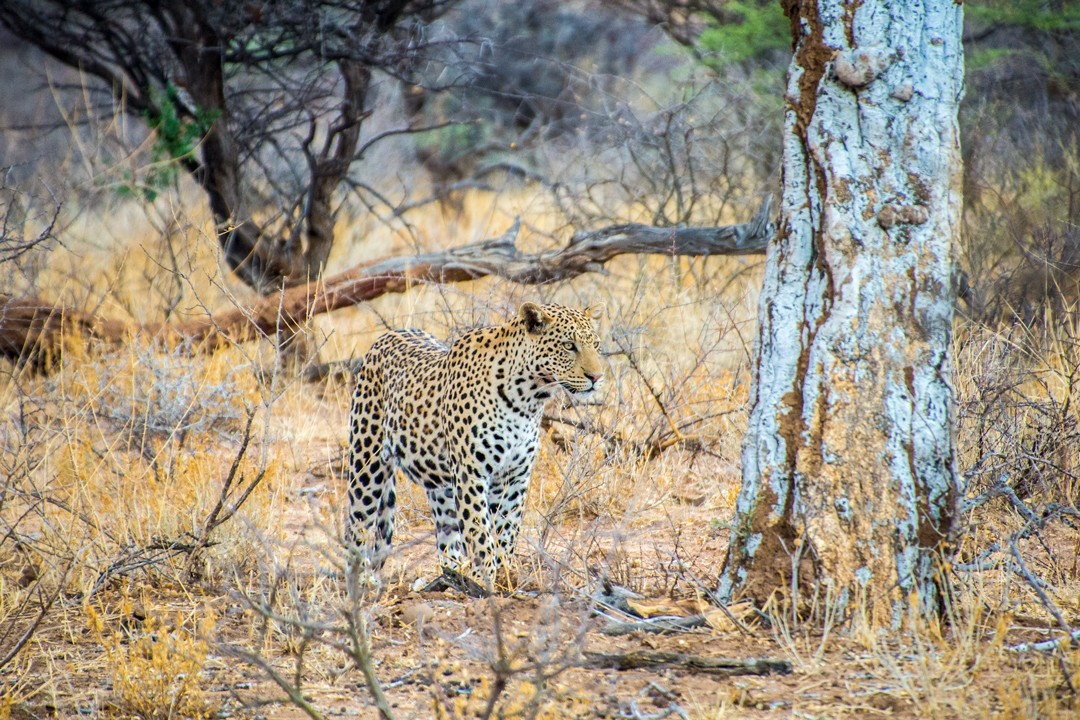 A leopard at Okonjima Nature Reserve
