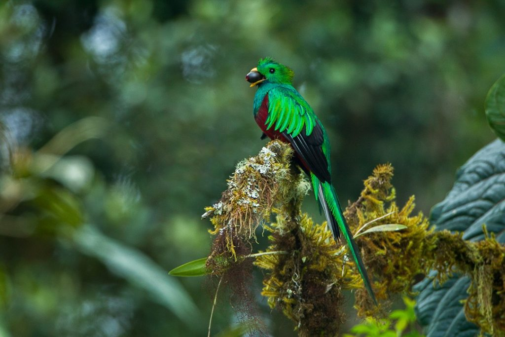 Monteverde cloud forest: quetzal