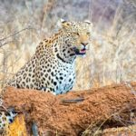 Tracking leopards and cheetahs at Okonjima Nature Reserve, Namibia