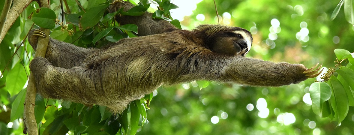 Manuel Antonio National Park featimg sloth