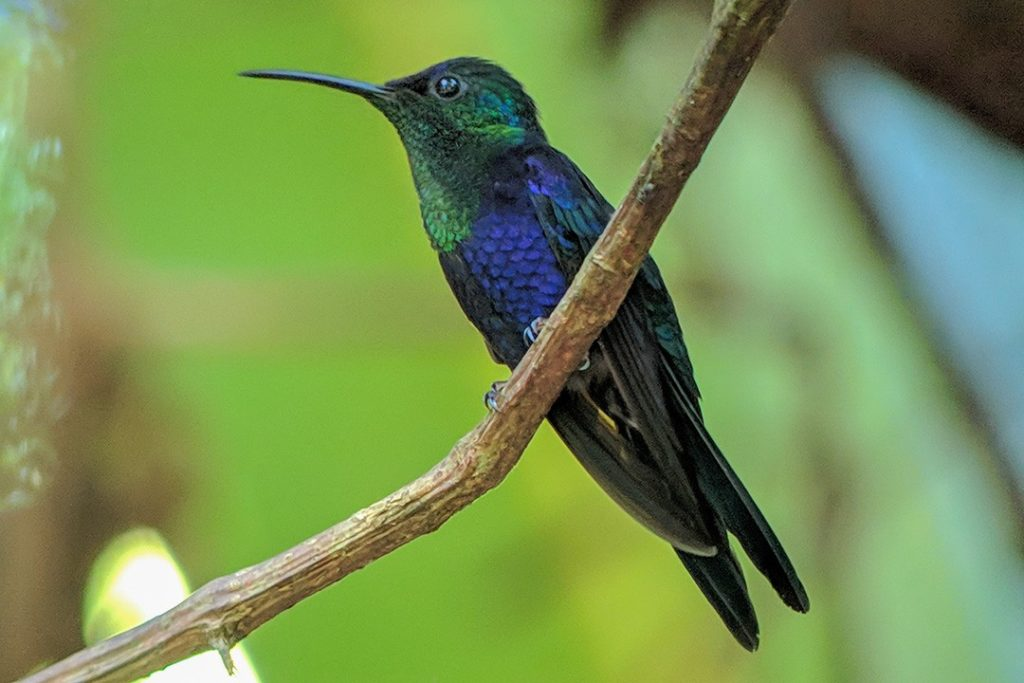 A crowned woodnymph hummingbird in Manuel Antonio National Park