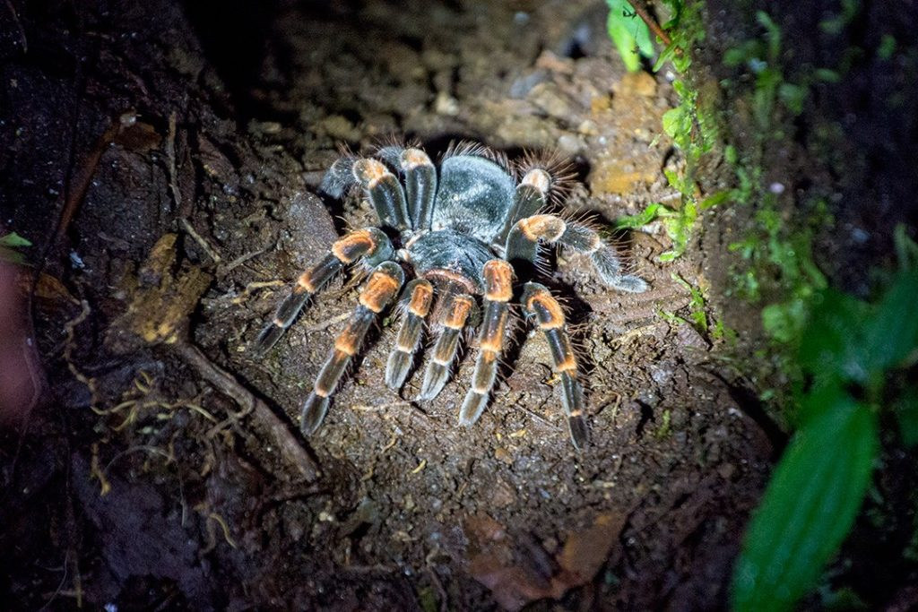 A tarantula in Santa Elena Cloud Forest