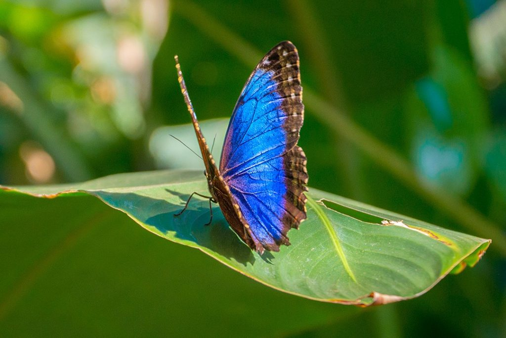 interesting facts about costa rica butterfly