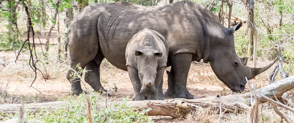 Interesting facts about Eswatini Swaziland white rhinos