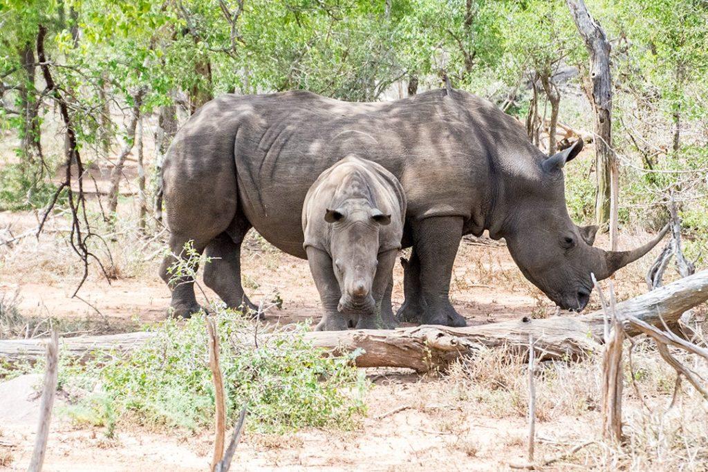 Faits intéressants sur les rhinocéros blancs d'Eswatini Swaziland