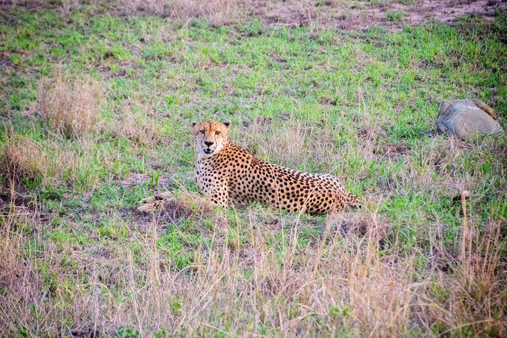 A cheetah at rest