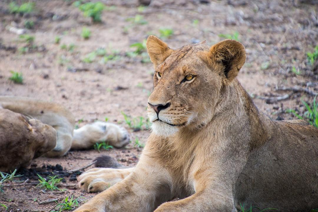 Manyeleti Game Reserve lions 1