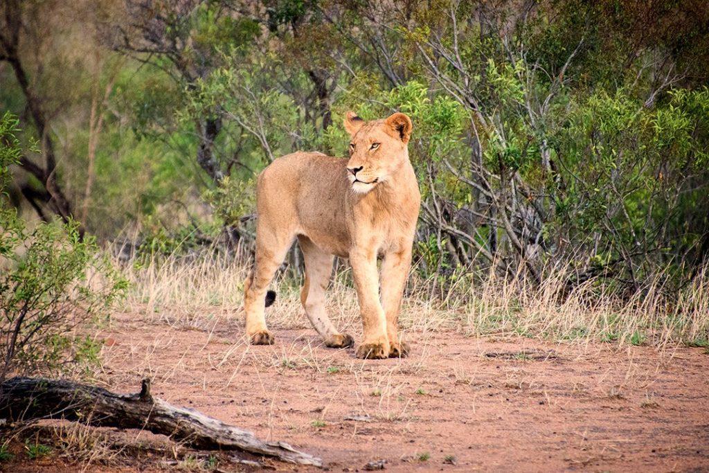 A proud lion