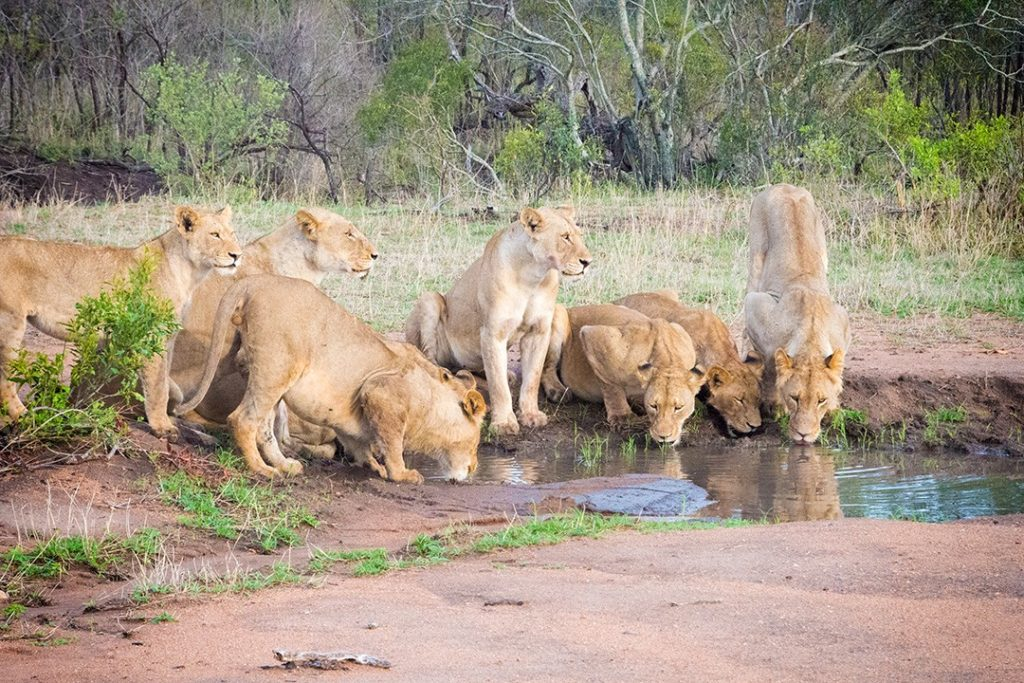 Lions drink from a pool at Manyeleti Game Reserve
