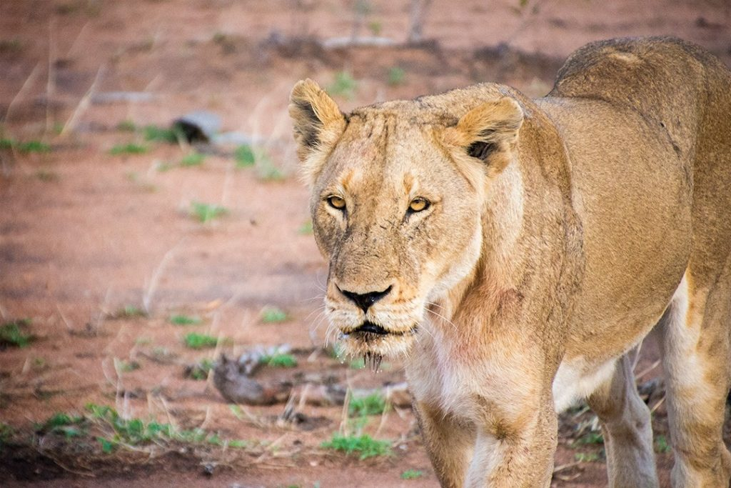 Big 5 sightings are common Kruger National Park as well as private game reserves in south africa