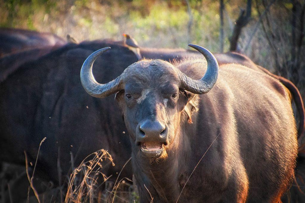 A buffalo stares at manyeleti game reserve