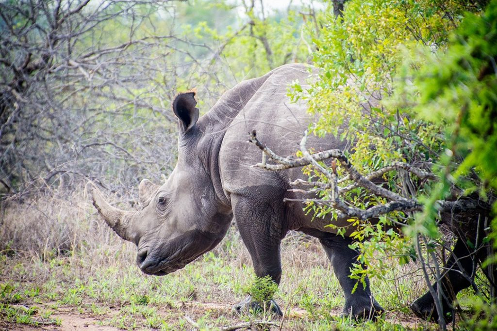 A solitary rhino (Atlas & Boots)