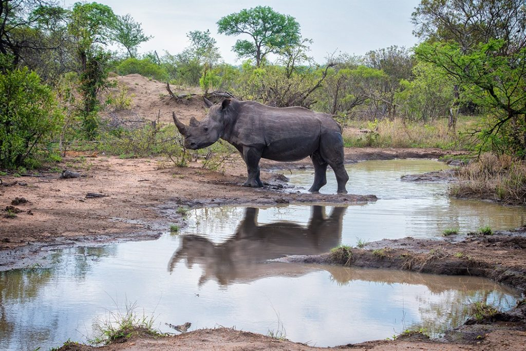 A rhino wander through Manyeleti Game Reserve