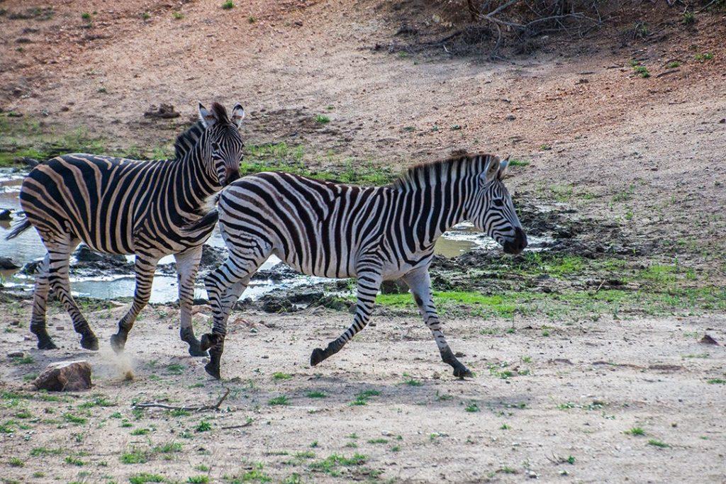 Zebra take a drink