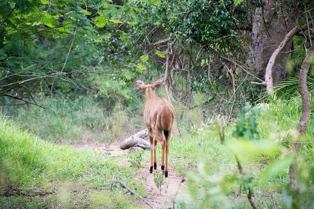 visiting eswatini: an antelope wanders by