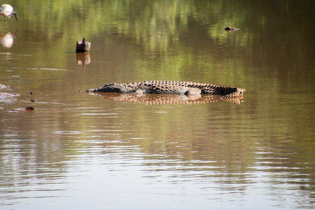 a croc in eswatini