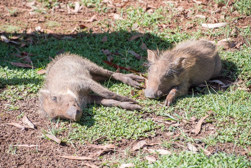 two warthogs lolling about outside