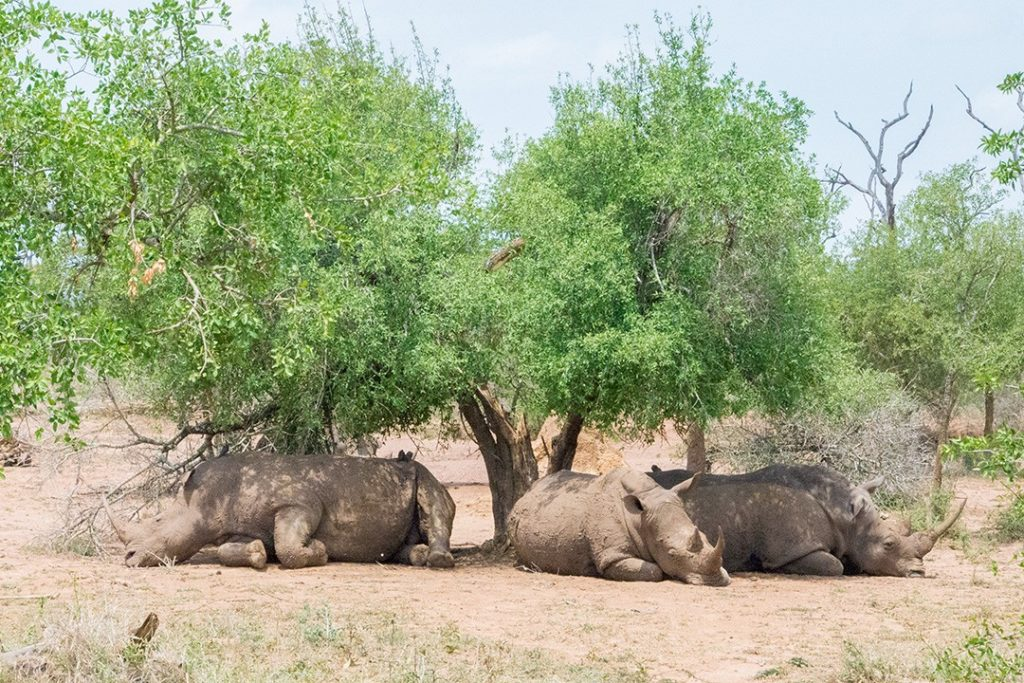 visiting eswatini is your best chance of seeing rhinos in africa