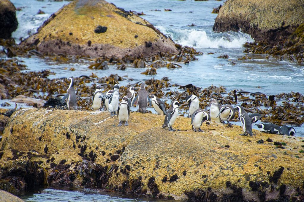 Penguins mingle at Boulders Penguin Colony