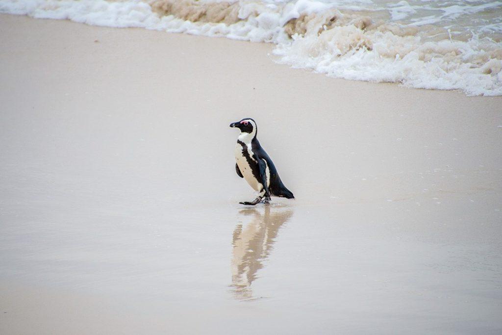 An African Penguin strolls along Boulders Beach