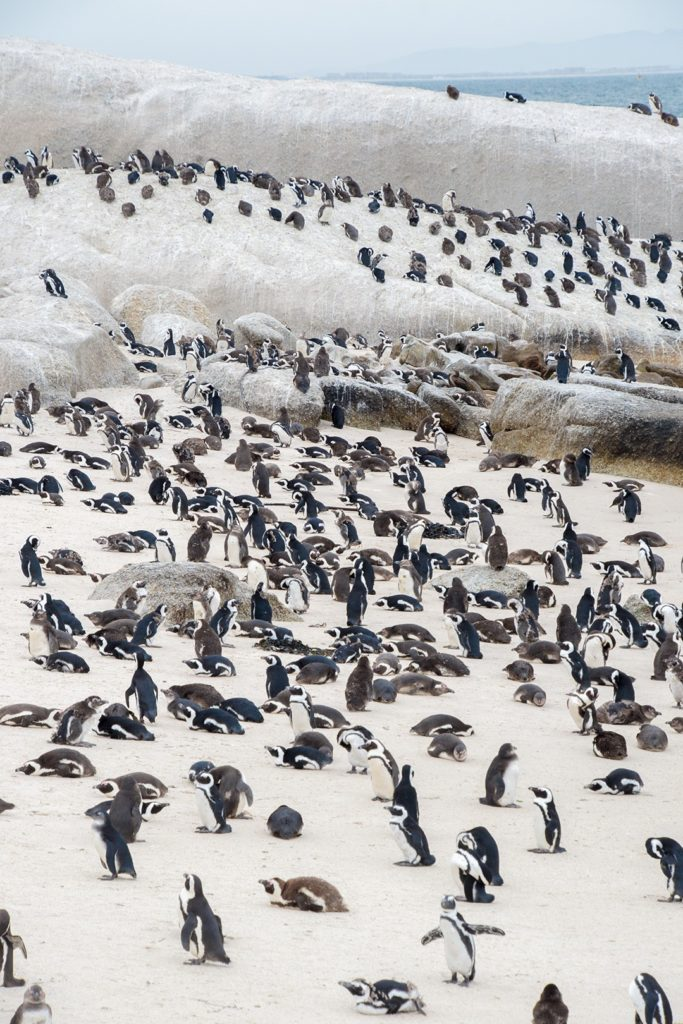 A multitude of penguins