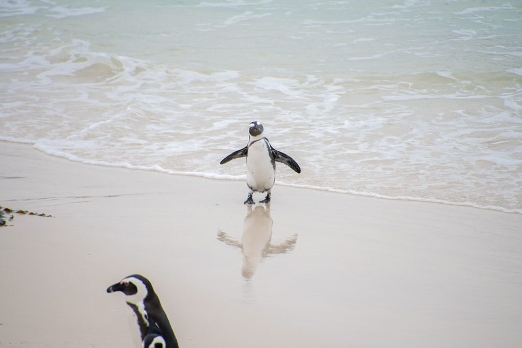 A cute penguin strolls onto the beach