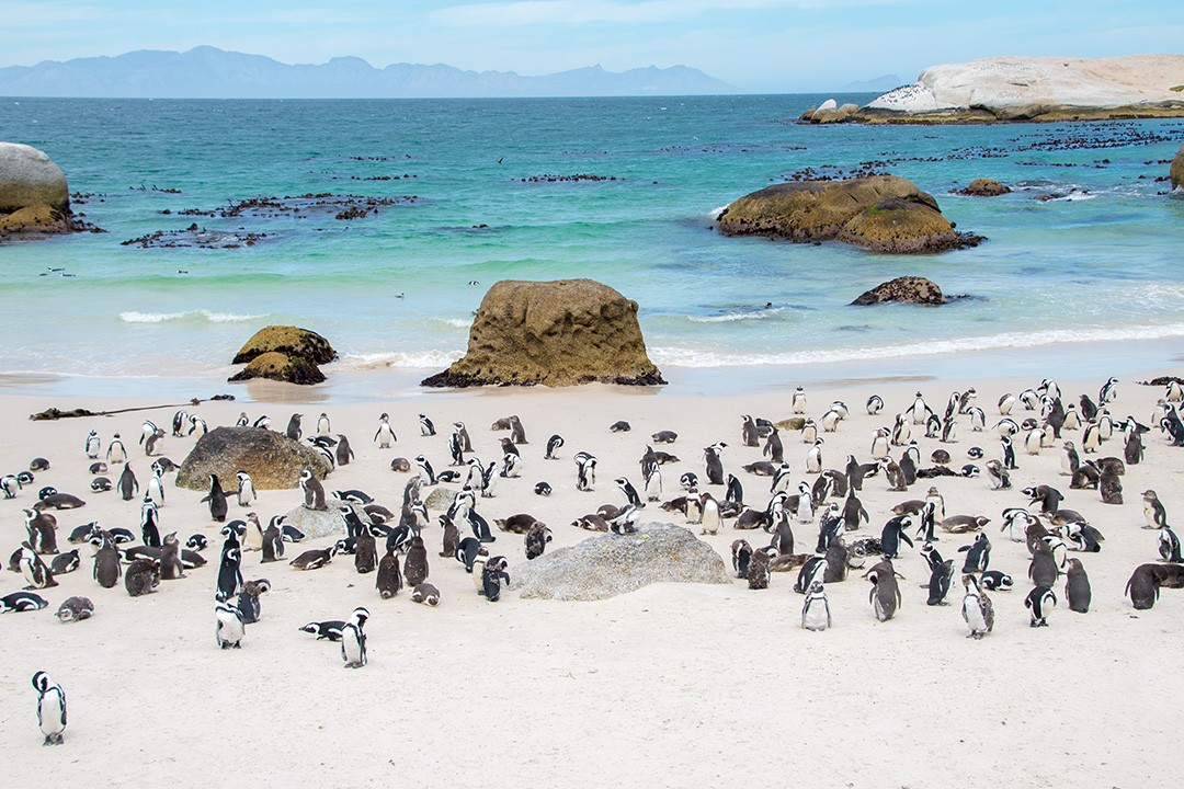 It's clear why tourists flock to Boulders Penguin Colony