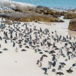 Visiting Boulders Penguin Colony, Cape Town