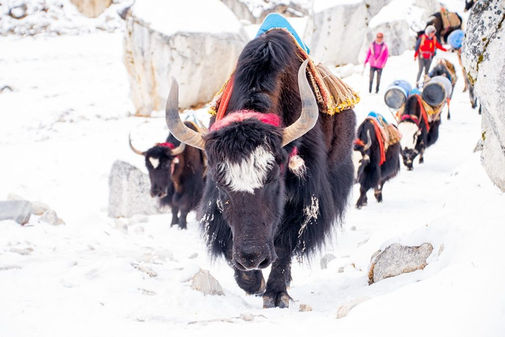 Yaks along the Everest base camp trek