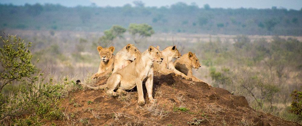 Manyeleti Game Reserve lions 6