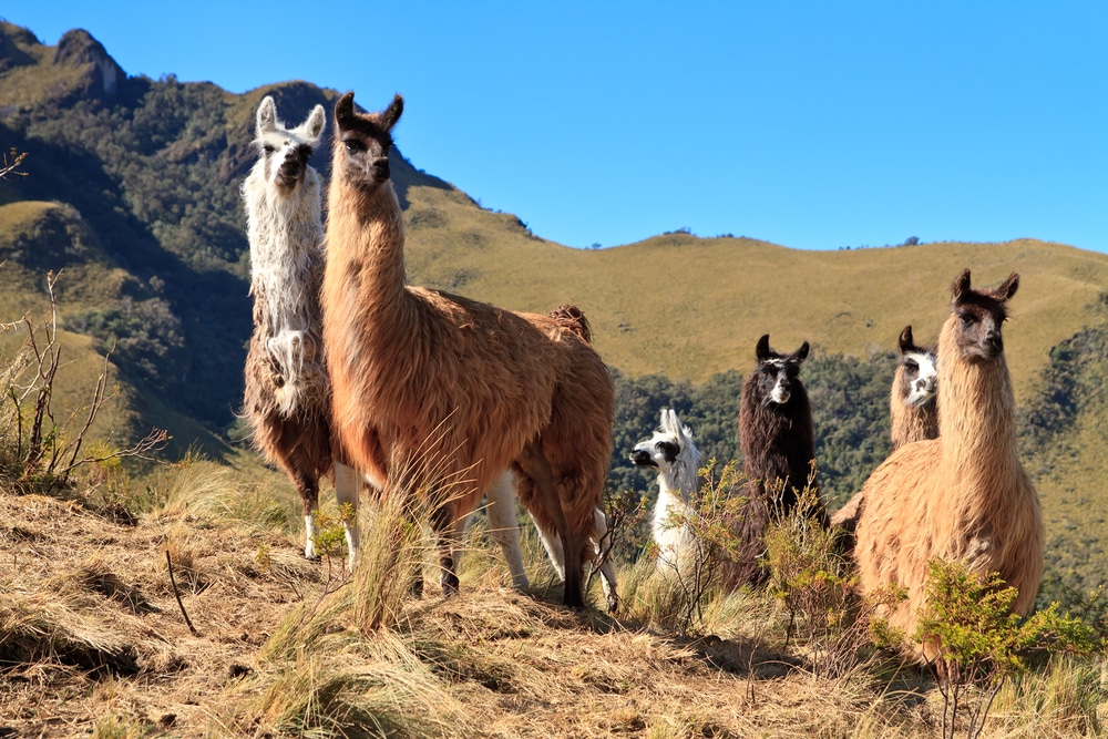most interesting facts about Ecuador lead image alpacas