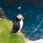 In search of puffins in Mykines, Faroe Islands