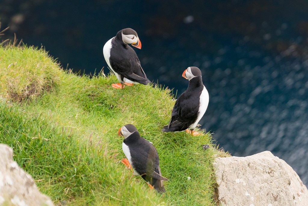 puffins relax on Mykines, Faroe Islands