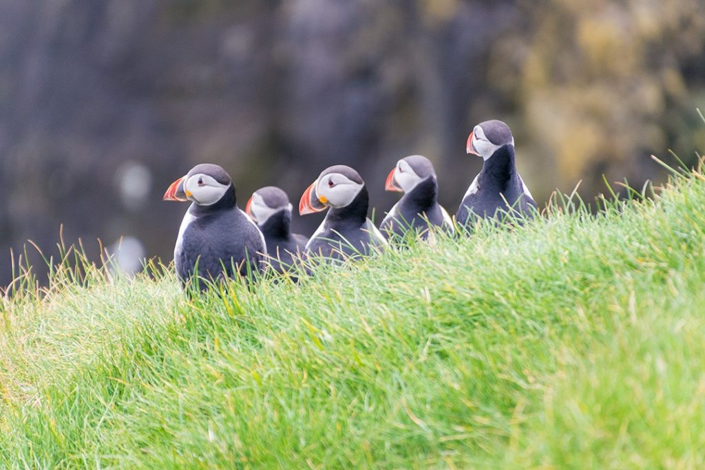 A group of puffins on Mykines, Faroe Islands
